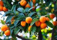 Мандарины,апельсины,фейхоа,лимоны Абхазия